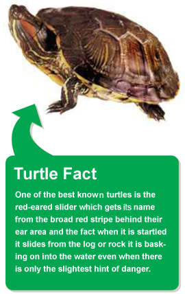 Turtle fact